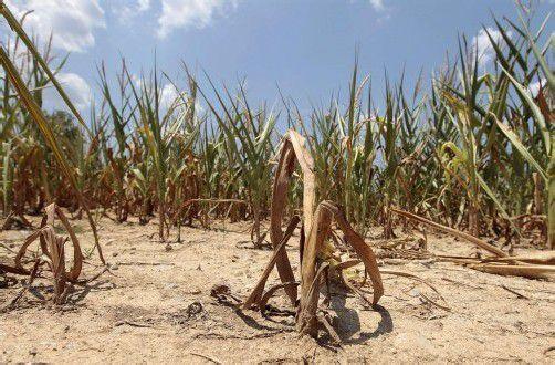 """Der """"Corn Belt"""" (Mais-Gürtel), in dem der Löwenanteil des Mais in den USA angebaut wird, ist besonders betroffen. Foto: Reuters"""