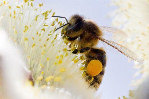 Die Bienen kamen heuer kaum zum Arbeiten. Foto: VN/steurer