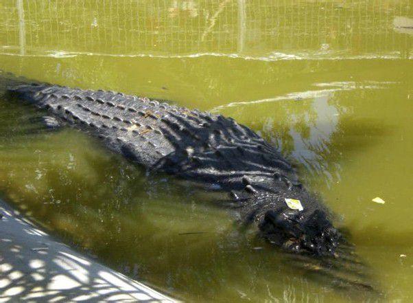 Lolong ist 6,17 Meter lang und wiegt über eine Tonne.