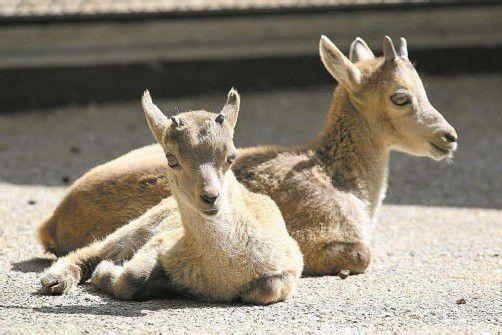 Nachwuchs im Wildpark freut die Betreiber. Foto: vn/Hofmeister