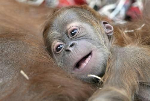 Zur Rettung der Orang Utans auf Sumatra startete der Umweltschützer Rudi Putra eine Petition. Foto: dapd