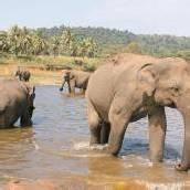 Ein Waisenhaus für Elefantenkinder in Pinnawela
