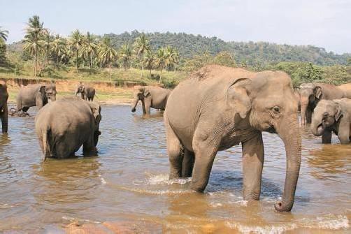 Beim Bad im Fluss kann man die friedvollen Dickhäuter aus nächster Nähe erleben. Fotos: Duschek