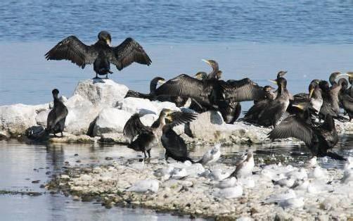 """An Vereinsamung leiden die Kormorane am See nicht. Sie haben dort viele """"Kollegen"""". Foto: Grabher"""