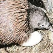 Kiwi rettet Ei vor Hochwasser