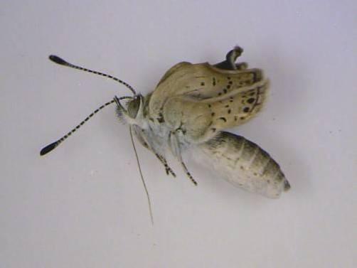 Links das Exemplar ohne genetische Veränderungen, rechts ein Schmetterling mit mutierten Flügeln. Fotos: EPA