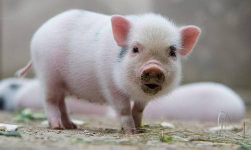 Mini-Pig Kinder schnüffeln am Dienstag (15.05.2012) im Zoo Hannover in ihrem Gehege nach etwas zu fressen. Zehn Mini-Schweinchen, acht Mädchen und zwei Jungen, kamen am 06.04. zur Welt und haben die erste Zeit mit Mutter Marianne im Stall verbracht. Mini-Schweinchen sind kleinwüchsige Hausschweine, die ausgewachsen etwa 50 Zentimeter hoch und 100 Zentimeter lang werden können. Foto: Jochen Lübke dpa/lni +++(c) dpa - Bildfunk+++