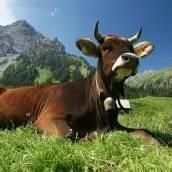 Land zahlt TBC-Tests für Schweizer Kühe
