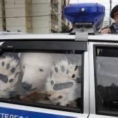 Eisbären von Polizei abgeführt