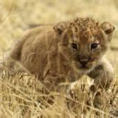 Kleiner Löwe unterwegs im Serengeti-Park