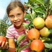 Apfelernte im Ländle gestartet