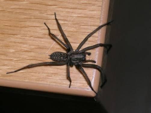 Spinnen lösen oft irrationale Ängste aus. Vor allem, wenn sie so ausschauen wie diese.  Foto: Inatura
