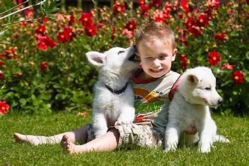 freture, tierbaby, kanadische schäferhunde, die jetzt acht wochen alt sind, insgesamt sechs stück, kind ist oliver (drei jahre alt) aus dornbirn