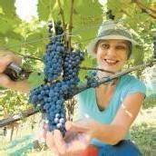 In den Vorarlberger Weingärten hat die Lese begonnen