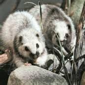 Genmais macht Ratten krank