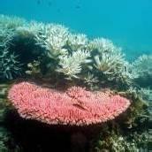 Korallensterben am Great Barrier Reef dramatisch