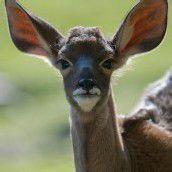 Nachwuchs bei den Kudu-Antilopen