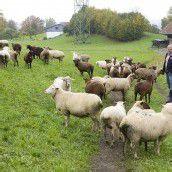 Schafzüchter vermutet gezielte Tat