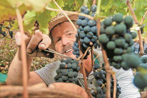 Pensionist und Hobbywinzer Elmar Müller bei der Weinlese unter der Schattenburg. Foto: VN/Steurer