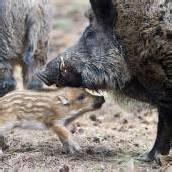 Die Wildschweine haben Zukunft