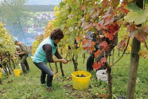 Viele Freunde und Bekannte eilten zur Weinlese herbei. Fotos: TMH