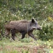 Wiener Wildschweinen geht es an den Kragen