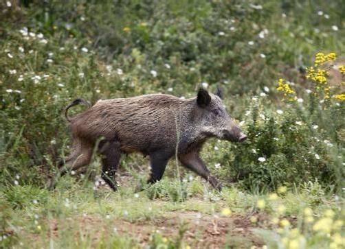 Wildschweine entwickeln sich in den Randbezirken zur Plage. Jäger sollen jetzt mehr Tiere schießen. Foto: Reuters