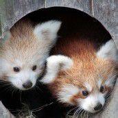 Nachwuchs bei den Roten Pandabären