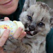 Puma-Baby lässt sich füttern