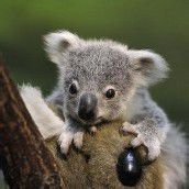 Koalanachwuchs