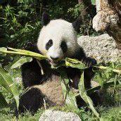 Panda Fu Hu nahm Abschied