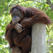 Auch Affen haben Midlife-Crisis
