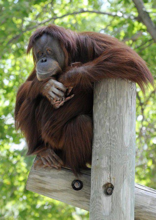 Affen im Alter von rund 30 Jahren wurden von ihren Betreuern als am unglücklichsten eingestuft. Foto: AP
