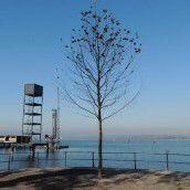 Platane am Seeufer ersetzt