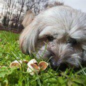 Gift-Köder in Bludesch: Zwei tote Hunde gemeldet