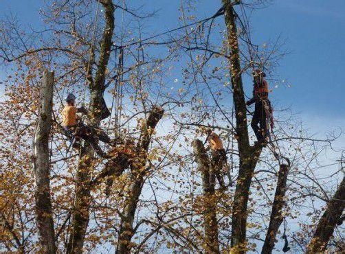 Baum-Pflegeteam Bodensee, mit Stefan Gieselbrecht im Einsatz in Alberschwende.