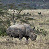 Armee soll Nashörner in Südafrika schützen