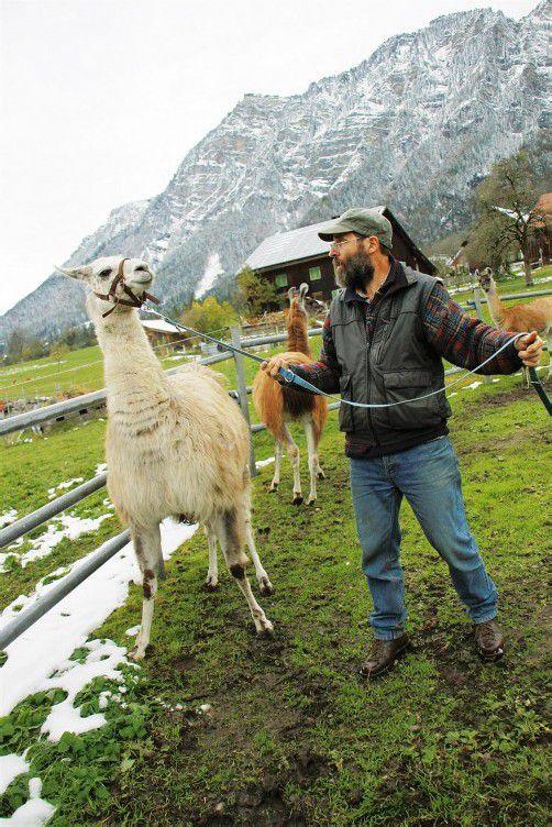Sobald Reinhard Achleitner ihnen das Zaumzeug überstreift, parieren die Lamas bereitwillig. Fotos: TMH