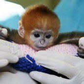 Schüchternes Affenbaby