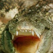 Sensibles Krokodilmaul