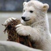 Verspielter Eisbär