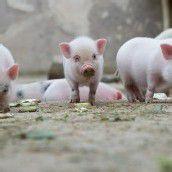 Hungrige Mini-Schweinchen