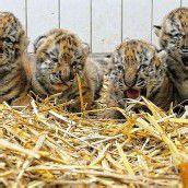 Zoo stellte neugeborene Tigerbabys vor