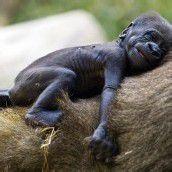 Gorillanachwuchs im israelischen Zoo