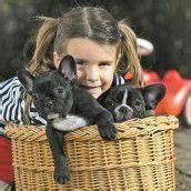 Französische Bulldoggen suchen ein liebevolles Zuhause