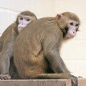Affenversuche werden erlaubt