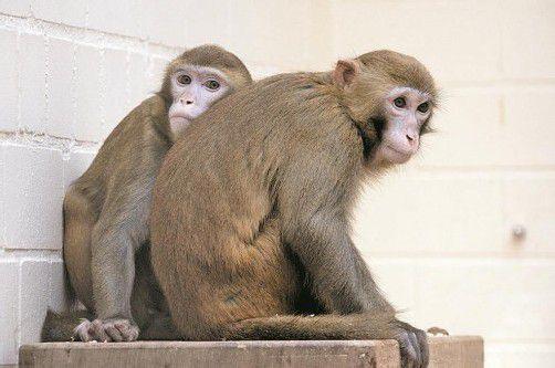 Die Hirnaktivitäten dieser Affen dürfen nach einem Gerichtsurteil weiter untersucht werden. Foto: AP