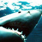 Klima könnte Hai-Attacken auslösen