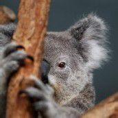 Schüchterner Koala