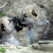 Verspielte Wolfsbabys im Tiergarten